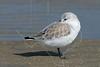 Sanderling<br /> East Beach, Galveston, Texas
