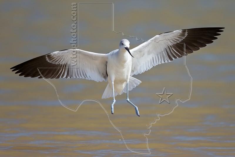 American Avocet, Winter Plumage, Flight,<br /> Matagorda Island, TX