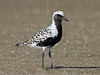 Black-bellied Plover,<br /> Bolivar Flats, Texas