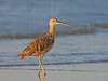 Long-billed Curlew, Sunrise,<br /> Bolivar Flats, Texas