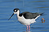 Black-necked Stilt,<br /> Brazoria National Wildlife Refuge, Texas