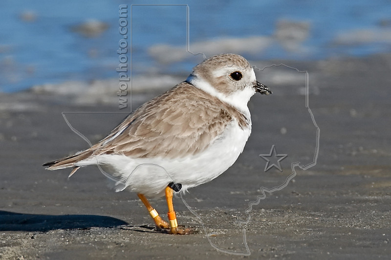 Piping Plover, Banded<br /> East Beach, Galveston, Texas