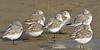 Sanderlings, Resting,<br /> East Beach, Galveston, Texas