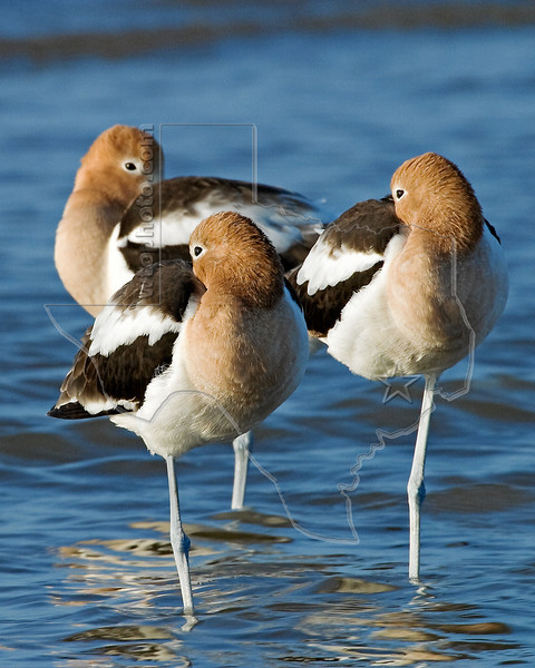 American Avocets,<br /> Boliver Flats, Texas