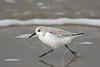 Sanderling<br /> Galveston, Texas, East Beach