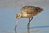Marbled Godwit,<br /> East Beach, Galveston, Texas