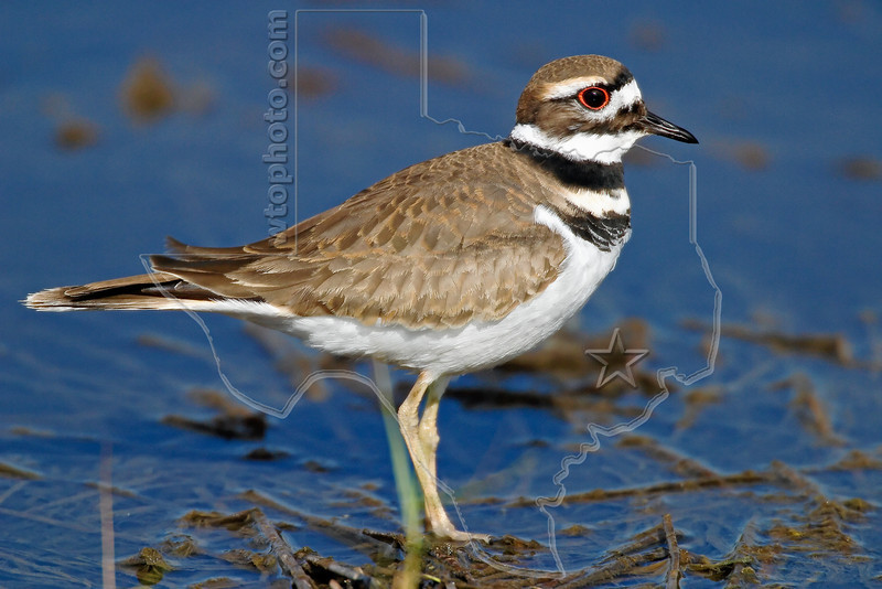 Killdeer,<br /> Brazoria National Wildlife Refuge