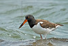 American Oystercatcher,<br /> Freeport Jetty, Texas
