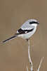Loggerhead Shrike,<br /> Brazos Bend State Park, Texas