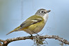 Blue-headed Vireo,<br /> Hermann Park, Houston, Texas