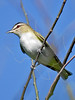 Red-eyed Vireo,<br /> Quintana Neotropical Bird Sanctuary, Freeport, Texas