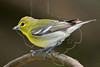 Yellow-throated Vireo,<br /> Lafitte's Cove, Galveston, TX