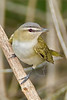 Red-eyed Vireo,<br /> Quintana Neotropical Bird Sanctuary, Quintana, Texas