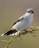 Loggerhead Shrike,<br /> Brazoria National Wildlife Refuge, Texas