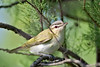Red-eyed Vireo,<br /> Quintana Neotropical Bird Sanctuary, Freeport, Texas