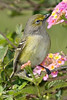 White-eyed Vireo,<br /> Quintana Neotropical Bird Sanctuary, Quintana, Texas