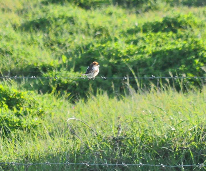Woodchat Shrike, Portland, May 2012