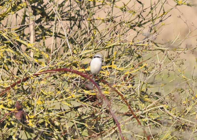 Shrike, Great Grey  Glynde Feb 26 2012