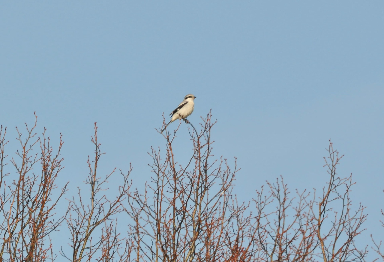 Shrike, Great Grey  Glynde Feb 26 2012