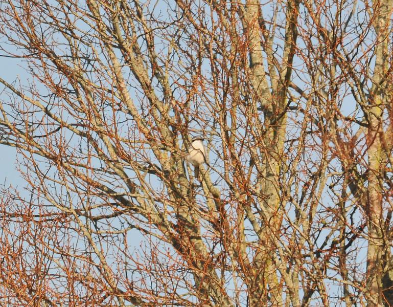 Great Grey Shrike 2012
