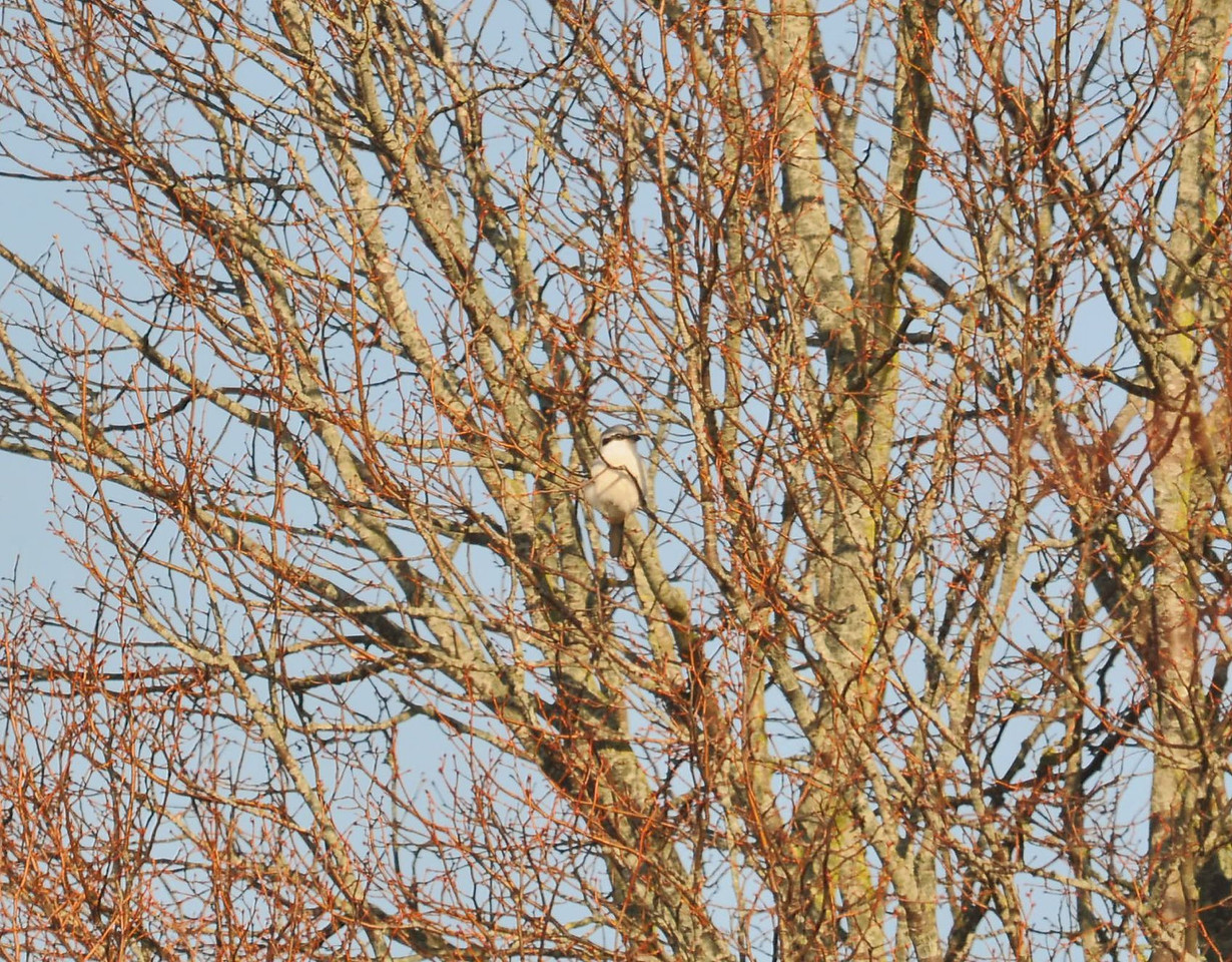 Great Grey Shrike 2012