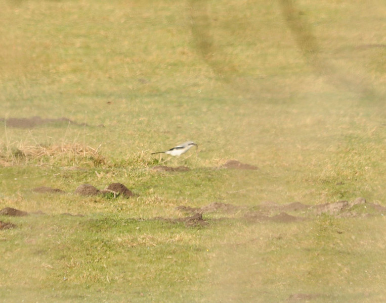Great Grey Shrike April 2012