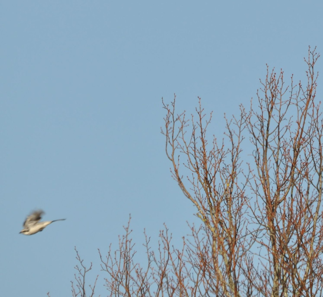 Great Grey Shrike, 2012