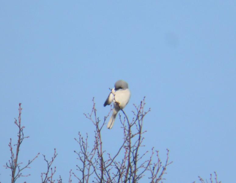 Great Grey Shrike Glynde Feb 2012