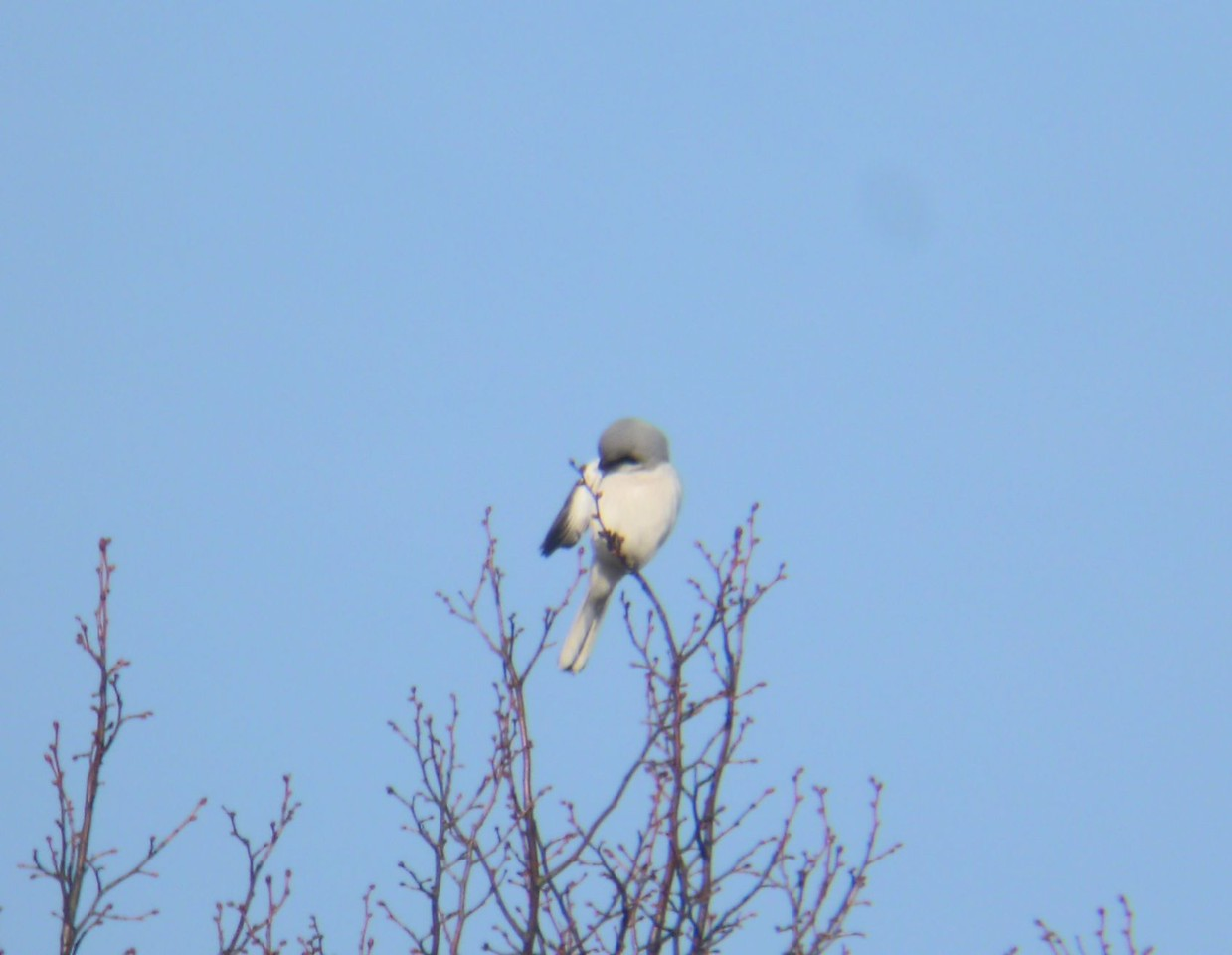 Great Grey Shrike Glynde Feb 2012