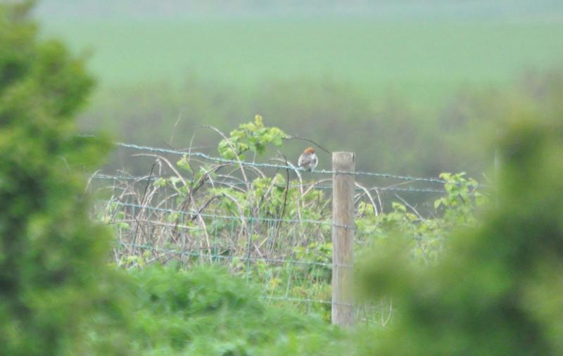 Shrike, Woodchat Filey May 2011
