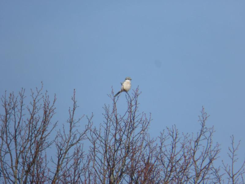 Great Grey Shrike, 2012