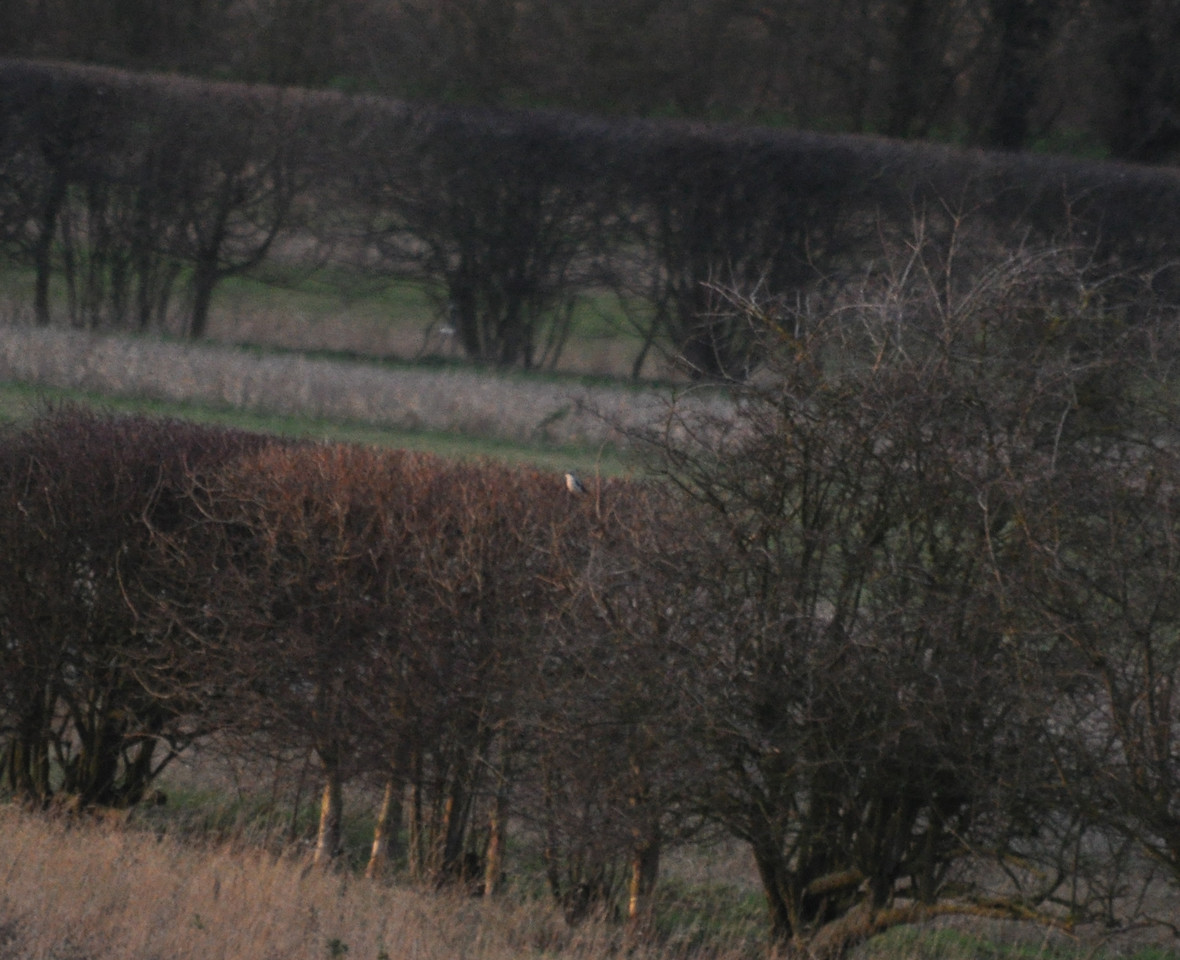 Shrike, Grey Grey Therfield Jan 2012