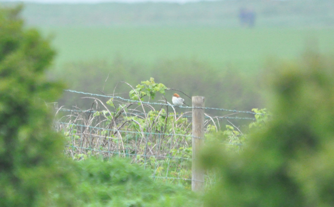 Shrike, Woodchat Filey May 2011