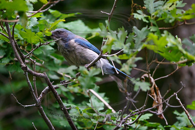 Forget focusing on this bird with AF on the 5dmk2. Look at this image on the largest size. The jay's eye is  crisply focused. Single-point spot AF, hand-held.