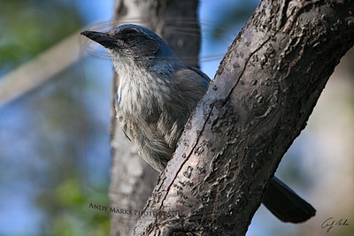 "An ""up-hill feeder"" with a dirty beak: a raucous scrub jay."