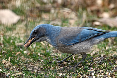 Scrub Jay, loading up on the large brown things that come in the Costco wild bird seed mix. They selectively gathered all these before considering any of the other food.