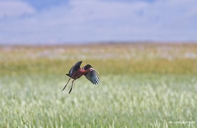 White faced ibis, Sierra Valley
