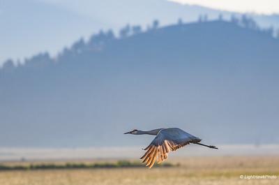 Sierra Valley Birds