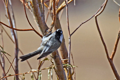 Mountain Chickadee