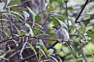 Blacked-tailed Gnatcatcher