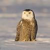 Snowy Owl preening (Bubo scandiacus)