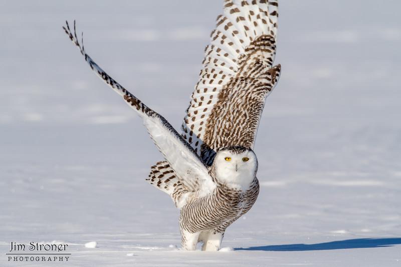 Female Snowy Owl ready for take off (Bubo scandiacus)