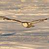 Evrening light on a female Snowy Owl in flight (Bubo scandiacus)