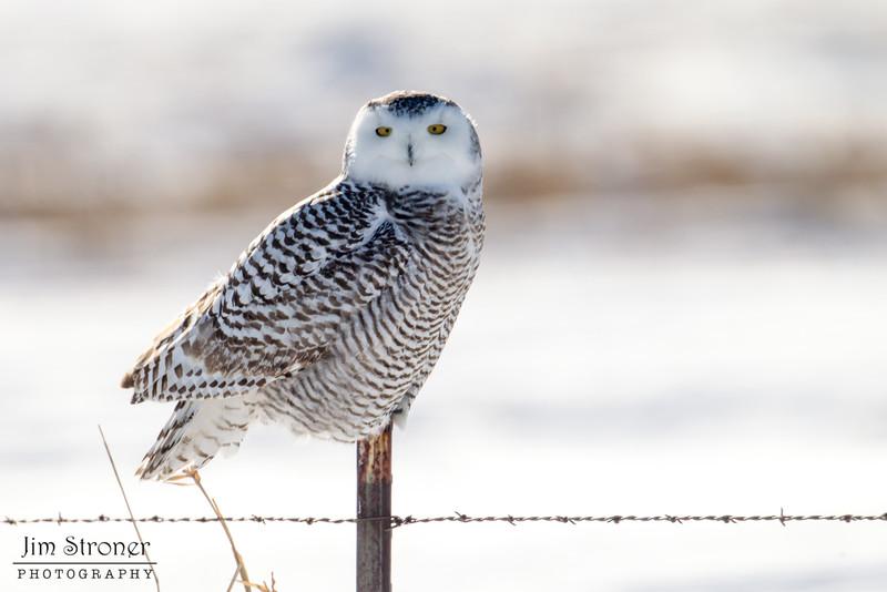 Female Snowy Owl hunting along a corn field (Bubo scandiacus)