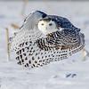 Female Snowy Owl in flight (Bubo scandiacus)