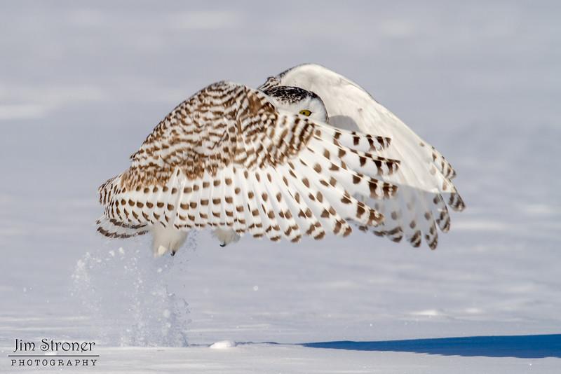 Female Snowy Owl taking off(Bubo scandiacus)