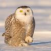 Female Snowy Owl preening (Bubo scandiacus)