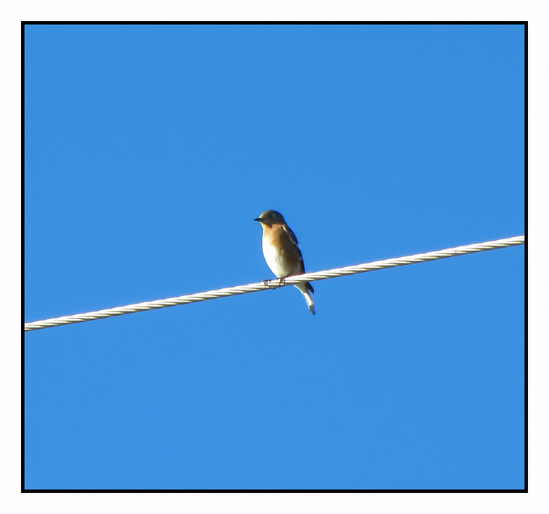 100% Crop of blue bird at 360mm. Canon SD 4500 IS.
