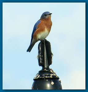 Bluebird on a post
