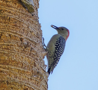 Red-Bellied Woodpecker in Wallace Brooks Park